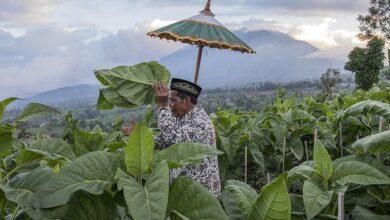 Masa Depan Petani Tembakau